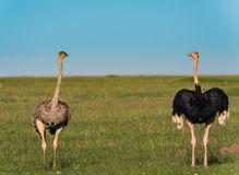 Ostriches in the masai marai National Park, kenya Stock Photos