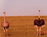 Ostriches in the masai marai National Park, kenya Stock Images