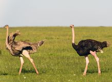Ostriches in the masai marai National Park, kenya Royalty Free Stock Image