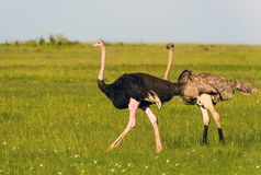Ostriches in the masai marai National Park, kenya Royalty Free Stock Photos