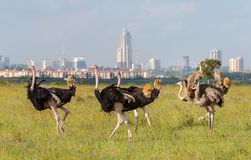 Ostriches in Nairobi national park stock image