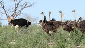Ostriches in natural habitat