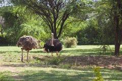 Ostriches near Bogoria, Kenya Stock Image