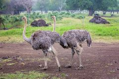 Ostriches in an open plain in Mauritius park, trees royalty free stock image