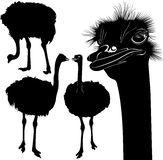 Ostriches. Ostrich birds in the farm Royalty Free Stock Photography
