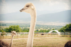 Ostriches on a ostrich farm.  Royalty Free Stock Photography