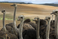 Ostriches on an ostrich farm. Ostriches with long necks looking at the camera Stock Photo