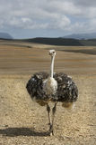 Ostriches on an ostrich farm. Ostriches with long necks walking towards the camera - full bdy Royalty Free Stock Image