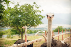 Ostriches on a ostrich farm. Two ostriches on a ostrich farm Royalty Free Stock Photo
