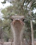 Ostriches. Ostrich head in zoo Stock Image
