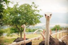 Ostriches på en ostrichlantgård Royaltyfri Foto