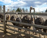 Ostriches in the paddock of the farm. Stock Images