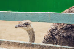 Ostriches in the paddock of the farm. Ostriches on the farm royalty free stock photography