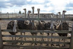 Ostriches in the paddock of the farm. Royalty Free Stock Photos