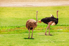 Ostriches at the pastures of Kenyan savannah Royalty Free Stock Image