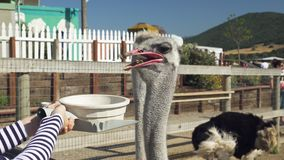 Ostriches. funny birds. People feeding the animals. Ostriches.  people feeding the animals. Birds are trained to eat out of a bowl stock footage
