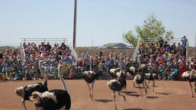 Ostriches run at a festival Stock Photo