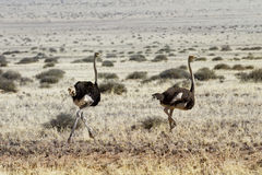 Ostriches running. In the steppe of Namibia Royalty Free Stock Photography