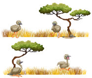 Ostriches running in the field Royalty Free Stock Photos
