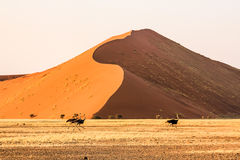 Ostriches running at sunset in front of the famous Dune 45 Stock Photography
