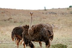 Ostriches in the savanna stock photos