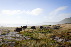 Ostriches by the Sea Stock Photos