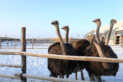 Ostriches in Siberia Royalty Free Stock Photo