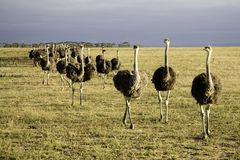 Ostriches in South Africa Stock Photos