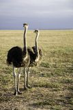 Ostriches in South Africa. Early in the morning somewhere on the Garden Road going to Durban Stock Photography