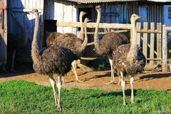 Ostriches stand on farm in front of building. Large African birds. Ostriches stand on farm in front of building in enclosure Stock Photo