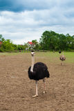 Ostriches and summer nature Royalty Free Stock Image