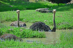 Ostriches taking a bath Stock Image