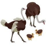 Ostriches with their children on white background Stock Photography