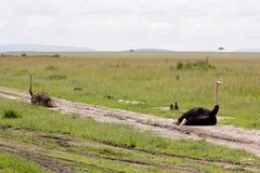 ostriches två Royaltyfria Bilder