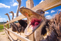 Ostriches are Valier Royalty Free Stock Photography