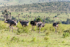 Ostriches  walking on savanna in Africa. Safari Stock Images