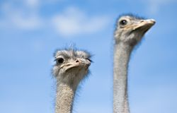 Ostriches watching Royalty Free Stock Images