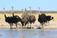Ostriches at the waterhole Stock Photos