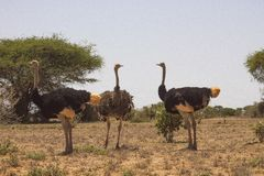 Ostriches in the wilderness. Ostrich ostriches wildernesses long neck safari wildlife birds big kenya africa travek travel tour nature landscape grass gane game royalty free stock photos