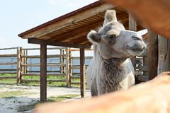 Ostriches in zoo. KYIV, UKRAINE - AUGUST 26, 2018: Camel in zoological garden in the summer stock image
