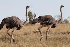 ostrichesparrunning Royaltyfria Bilder