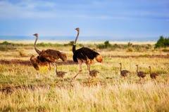 Ostrichfamilj på savannaen, Amboseli, Kenya Arkivfoto