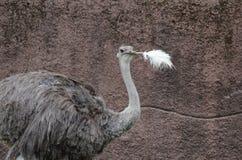 Ostrichfjädern Arkivbild
