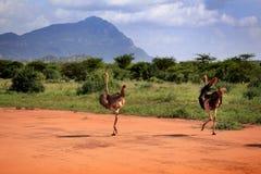 Ostrichs в национальном парке Tsavo восточном Стоковые Изображения