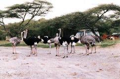Ostrichs в Эфиопии Стоковые Фото