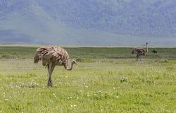 Ostrichs в Maasai Mara, Кении Стоковая Фотография