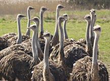 ostrichs группы Стоковое Изображение RF