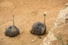 2 ostrichs кладя ослаблять на том основании Стоковые Фото