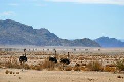 Ostrichs, Намибия, Африка Стоковые Фото