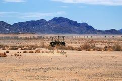 Ostrichs, Намибия, Африка Стоковое Изображение RF
